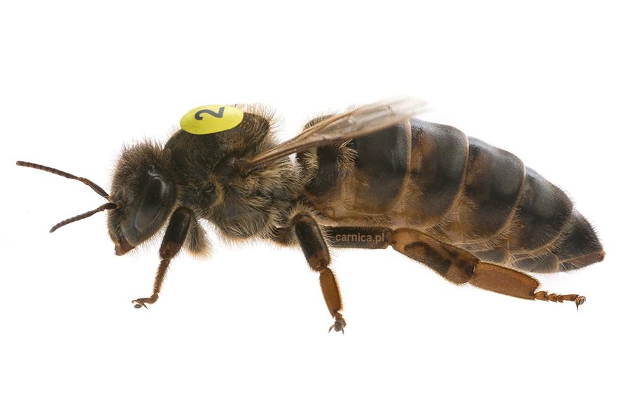IMEGO - Matka pszczela krainka unasienniona